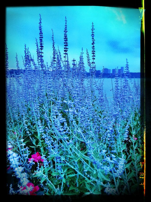 Lavender on the Hudson