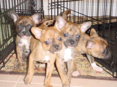 Litter Of French Bulldog Chihuahua Hybrid Puppies At 7 Weeks Old