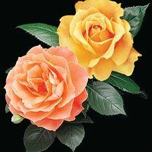 Livin Easy Easy Going Rose Tree 36 Tree Roses Tree Roses Edmunds Roses