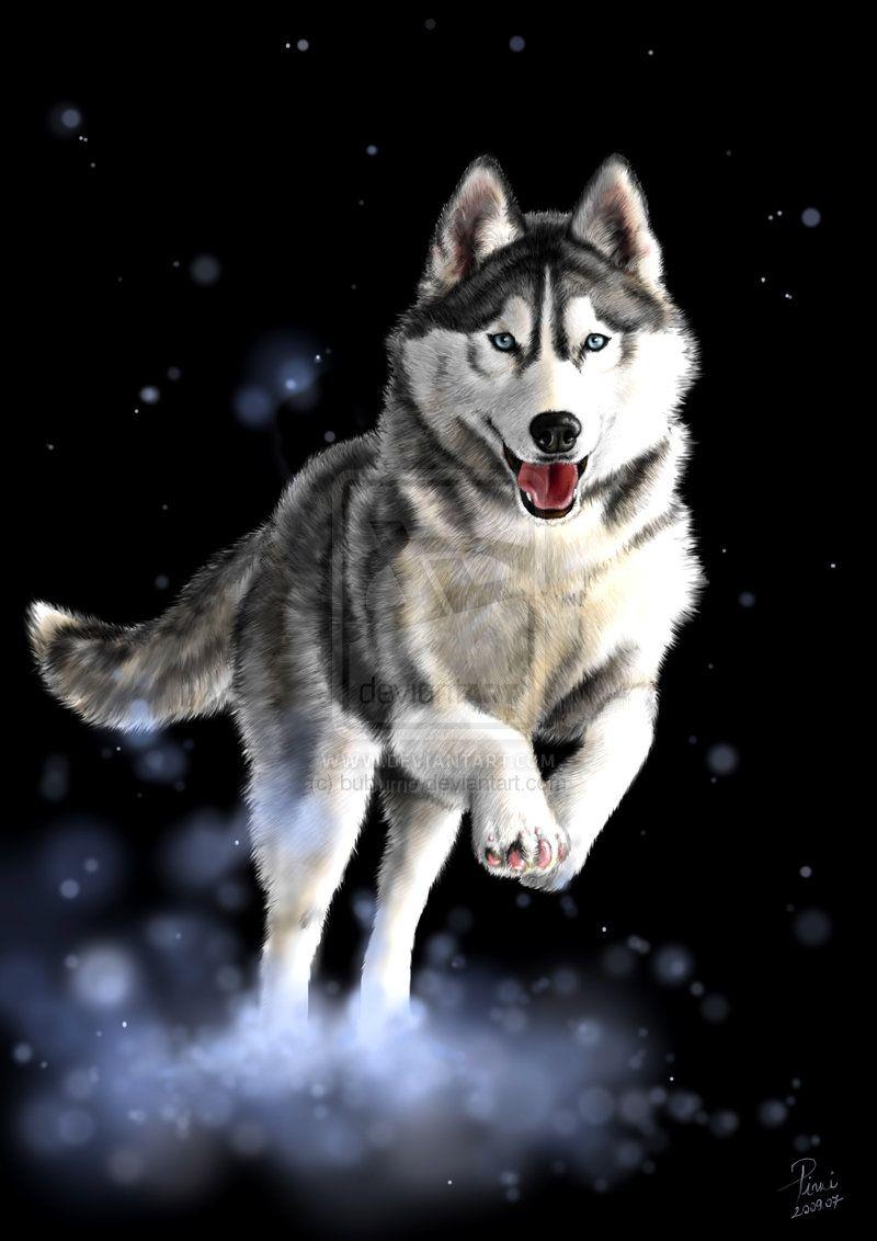 The Different Types Of Siberian Huskies Siberian Husky Dog