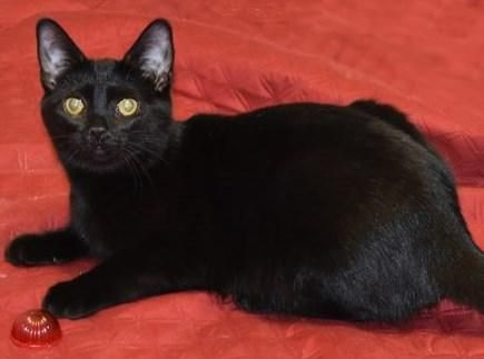 Egypt is an adoptable Domestic Short Hair searching for a forever family near Farmington Hills, MI. Use Petfinder to find adoptable pets in your area.