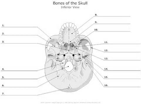 blank skull diagrams bing images physical therapist in. Black Bedroom Furniture Sets. Home Design Ideas