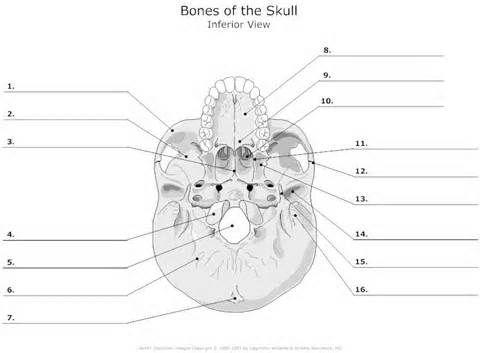 Blank Skull Diagrams Bing Images Anatomy Bones Skull Anatomy Anatomy