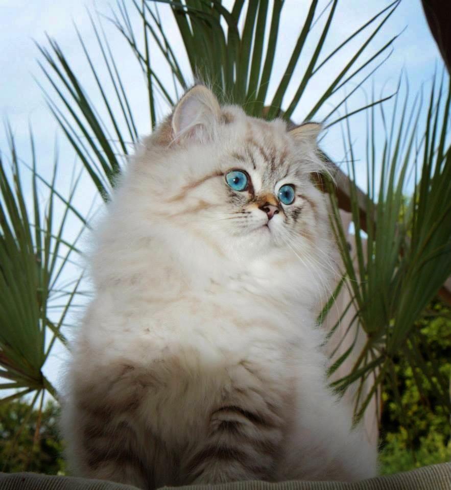 Ip Hop Mâle British longhair seal tabby point cat