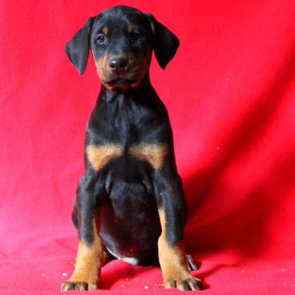 Lem Doberman Pinscher Puppy For Sale In Pennsylvania Doberman