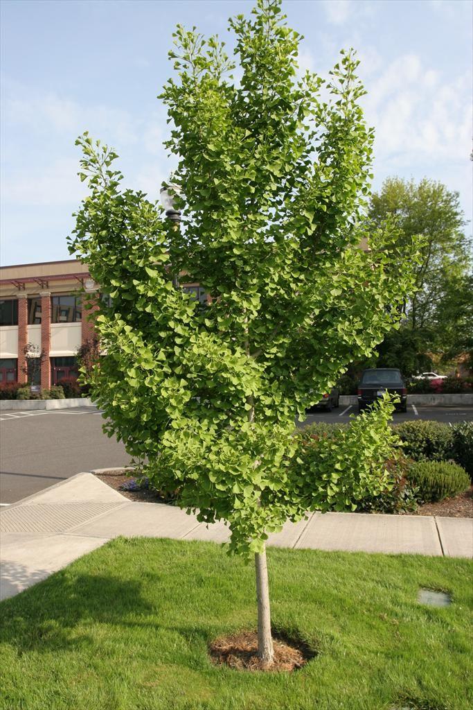 Ginkgo Biloba Maidenhair Tree A Slow Growing Deciduous Tree With