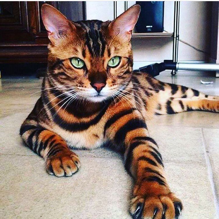 Def the coolest looking cat I've ever seen | Cats, Pretty