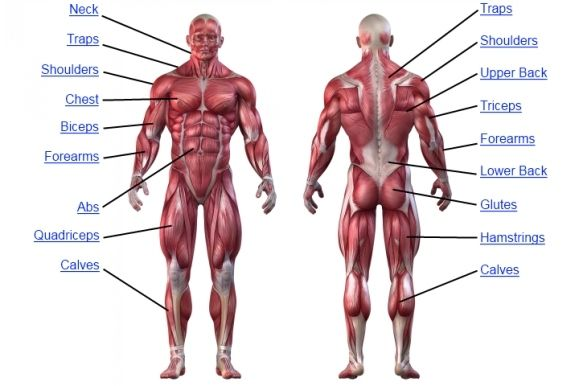 The Preview (6/18/12) | Muscle Anatomy | Pinterest | Full body ...