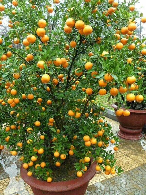 Pin By Hisham Abdelhamed On Frutas E Verduras Fruit Garden Fruit Garden Landscape Dwarf Fruit Trees