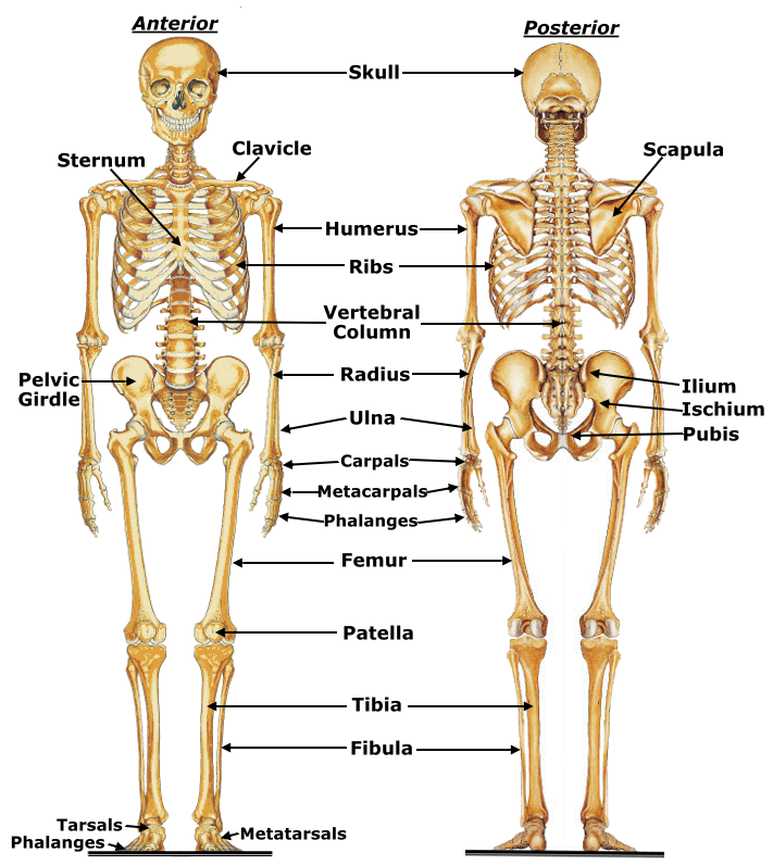 Image result for bones of the skeleton | ASR Basic Anatomy ...