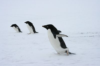 adelie penguins running. looks like they're getting ready for take off lol
