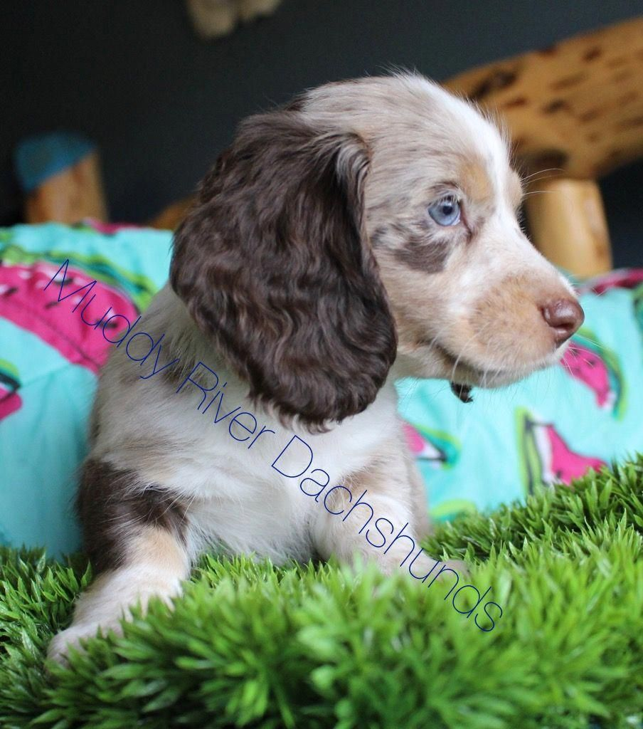 Dachshund Friendly and Curious Dachshund puppies for