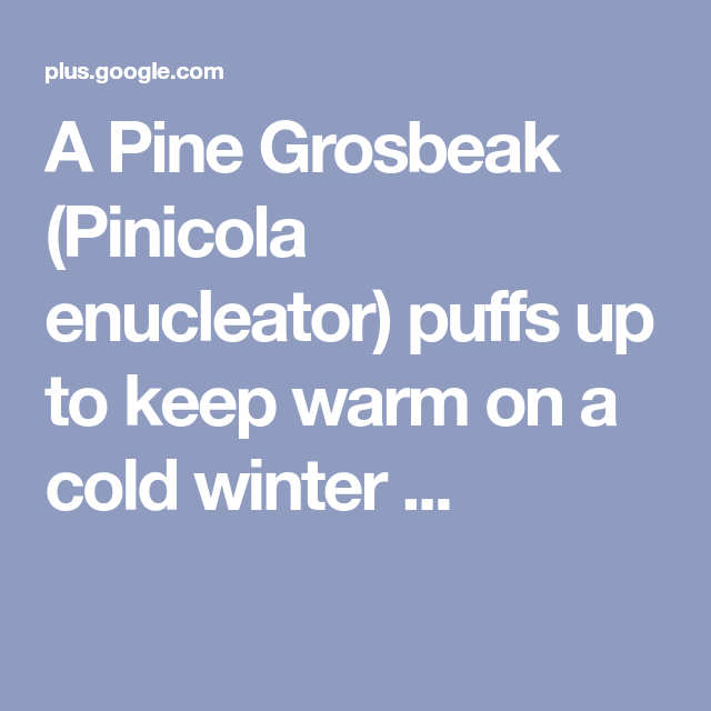 A Pine Grosbeak (Pinicola enucleator) puffs up to keep warm on a cold winter ...