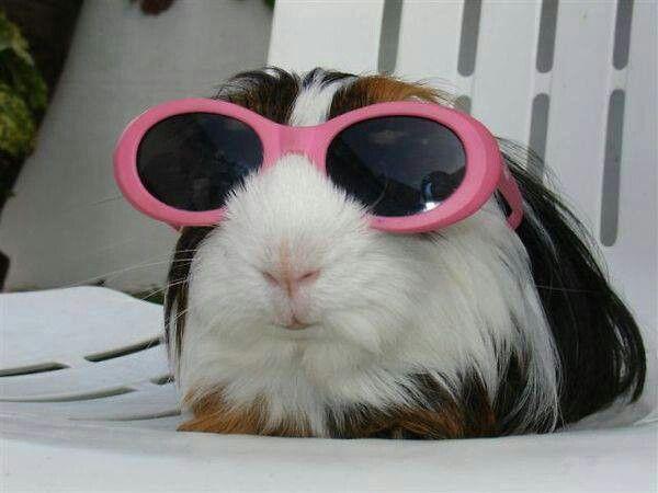 Cool guinea pig