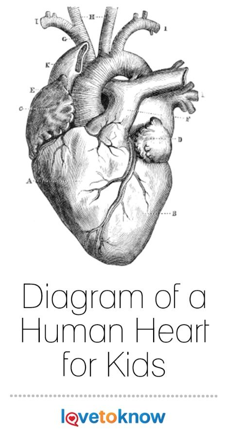 Diagram of a Human Heart for Kids   Heart illustration ...