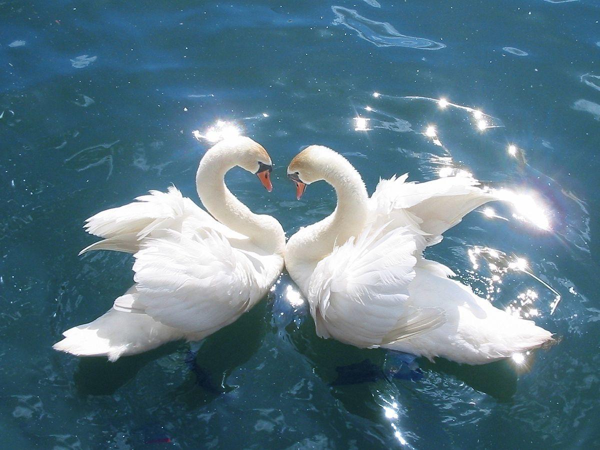 Two Advaita swans