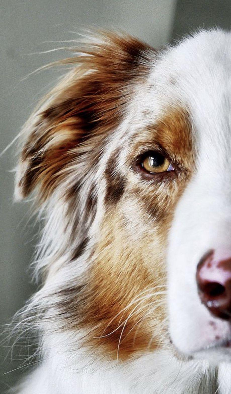 Schone Hunde Bild Von Anna Auf Pferde Australische Schaferhunde