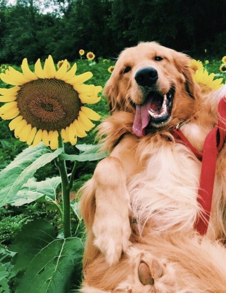 Pin By May Eger On D O G G I E S Dogs Golden Retriever