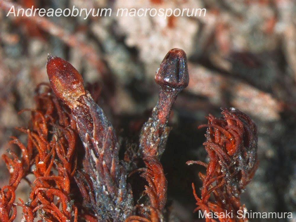 Dove bagnodoccia ~ Andreaeobryum macrosporum.jpg 1000×750 musgos bryophyta s.s.