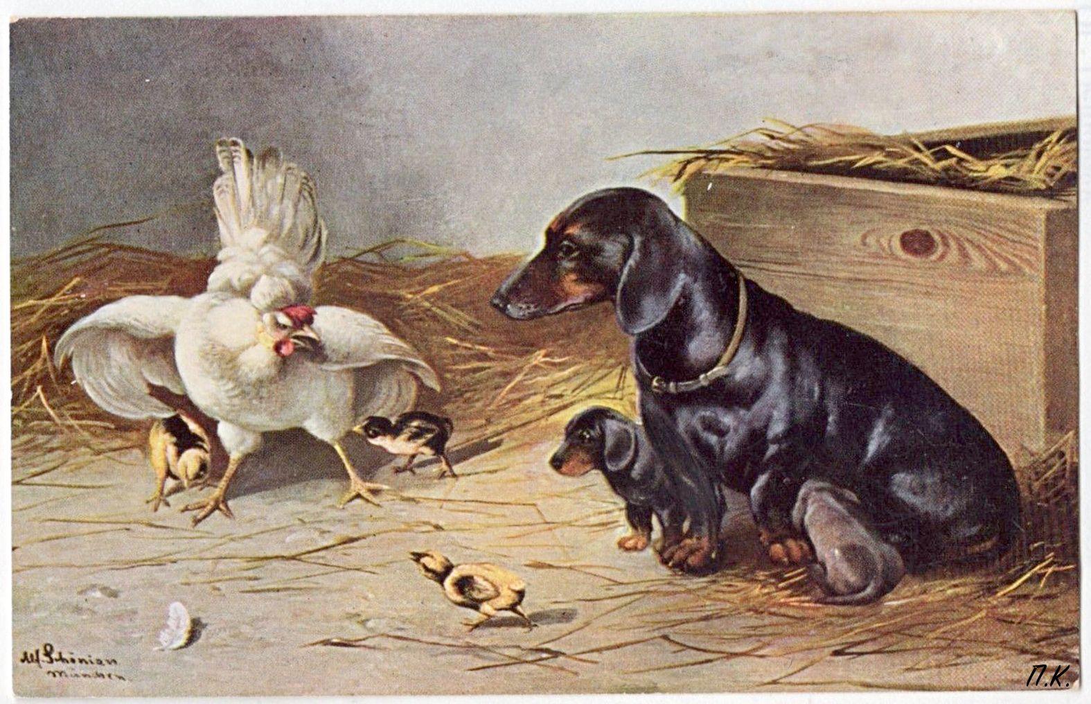 Chicken Vs Dachshund Vintage Dachshund Dachshund Pictures