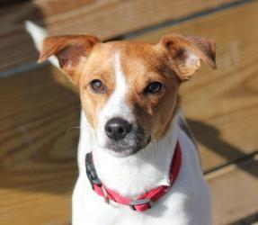 Adopt Willow On Rat Terrier Mix Rat Terriers Terrier Mix Dogs