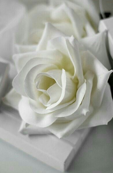 Beautiful white rose...