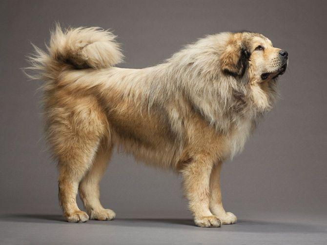 Tibetan Mastiff Photograph By Robert Clark Mastiff Breeds Tibetan Mastiff Dog Tibetan Mastiff