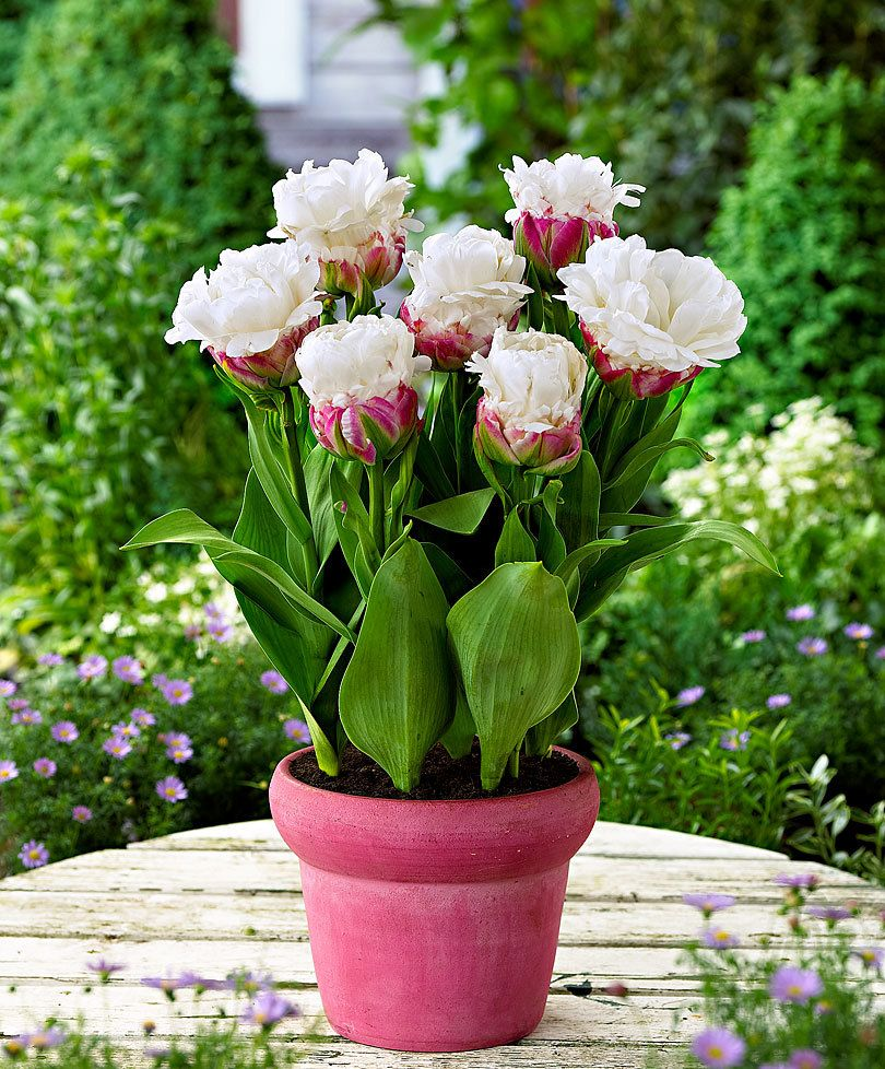 Buy Bulbs Now Double Flowered Tulips Ice Cream Flower Bulbs From