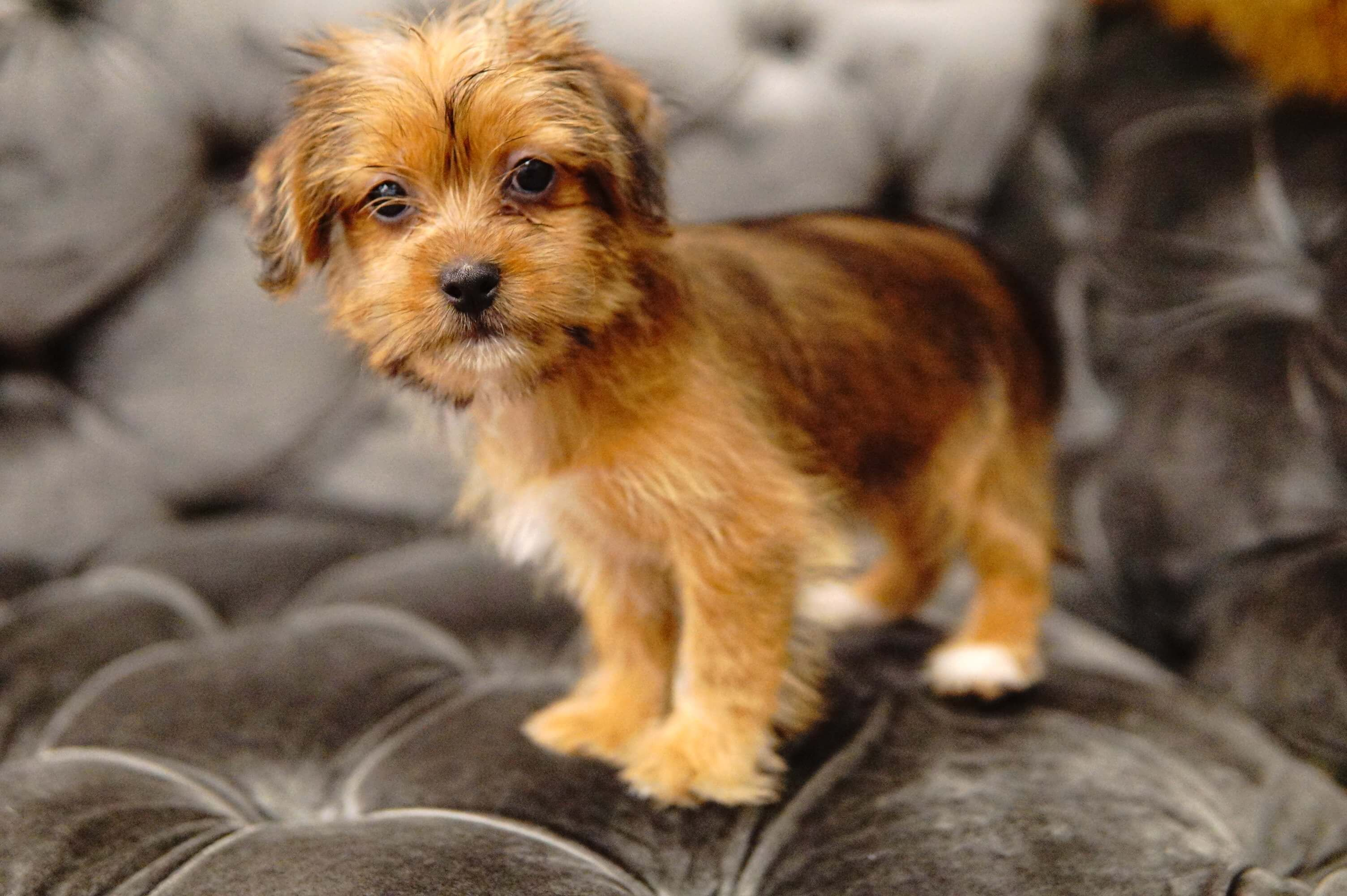 Shorkie Forever Love Puppies Shorkie Puppies Shorkie Dogs