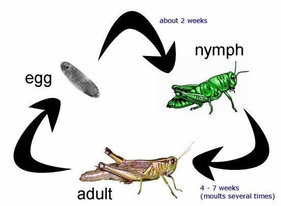 Life Cycle Of A Cricket Grasshopper Grasshoppers Are Closely Related