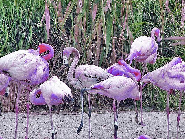 Purple Flamingos | Purple Flamingos | If I ran the zoo ...