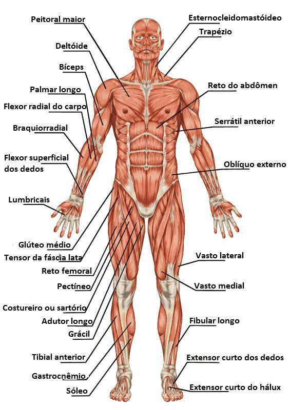 sistema muscular | estrutura corporal | pinterest, Muscles
