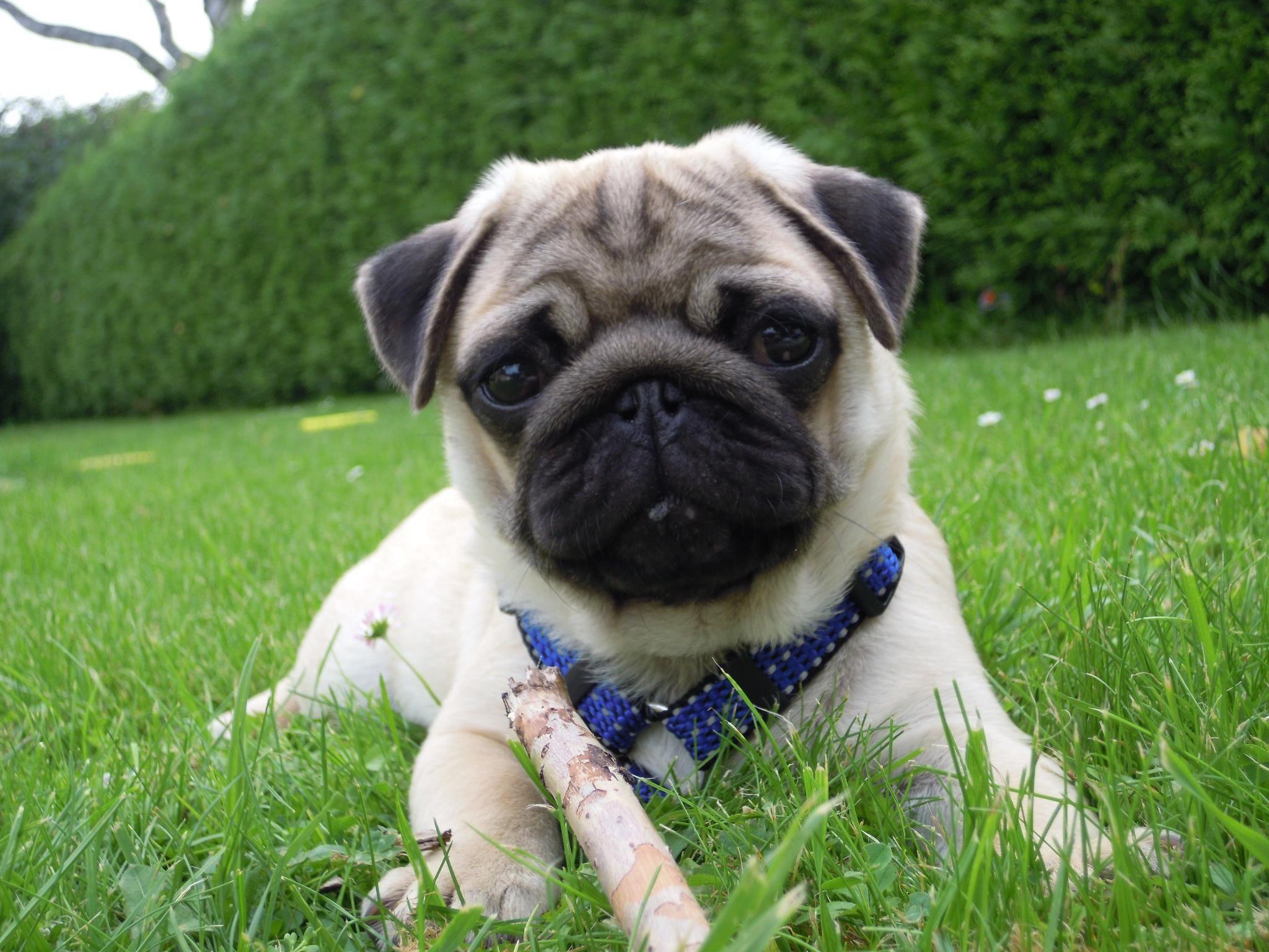 Pug Love Is Endless Pug Love Pets