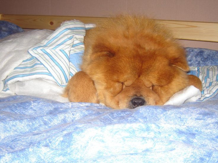 Pin By Ray On Chow Chow Chow Chow Dogs Chow Chow Dogs