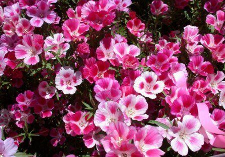 3 Common Name Godetia Double Flowered Azalea Latin Name Clarkia Amoena Ca Wildflowers Flower Seeds Fast Growing Flowers Pansies Flowers