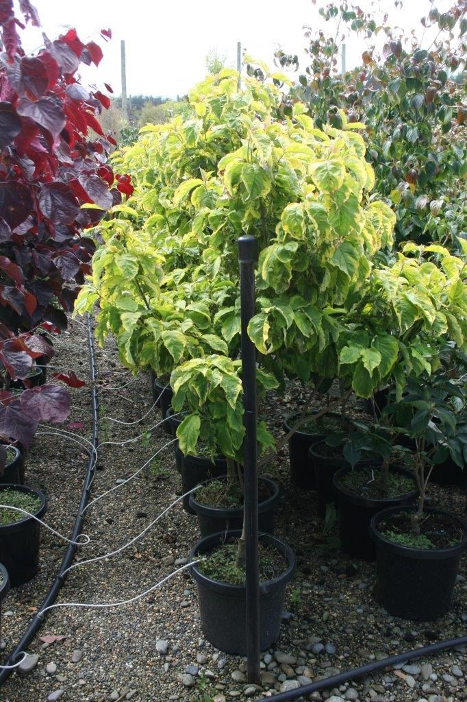 cornus florida rainbow is a spectacular dogwood with golden green leaves autumn foliage are the colours of red purple scarlet and gold