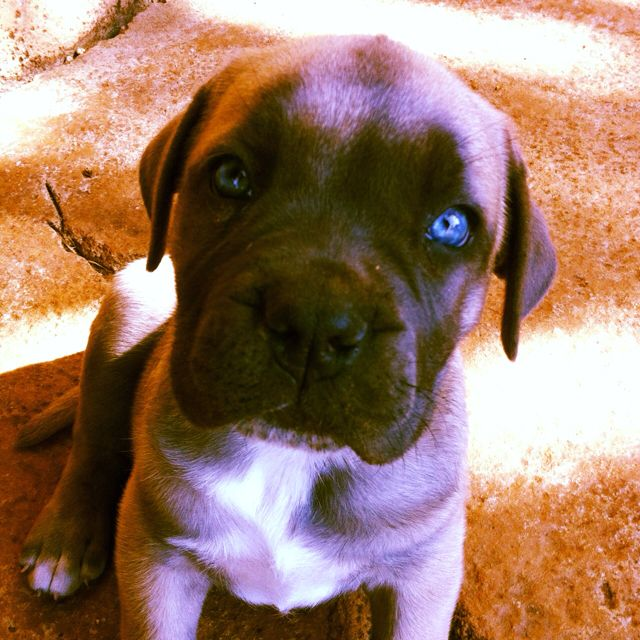 Blue Eyed Boerboel Puppy Puppies Pets