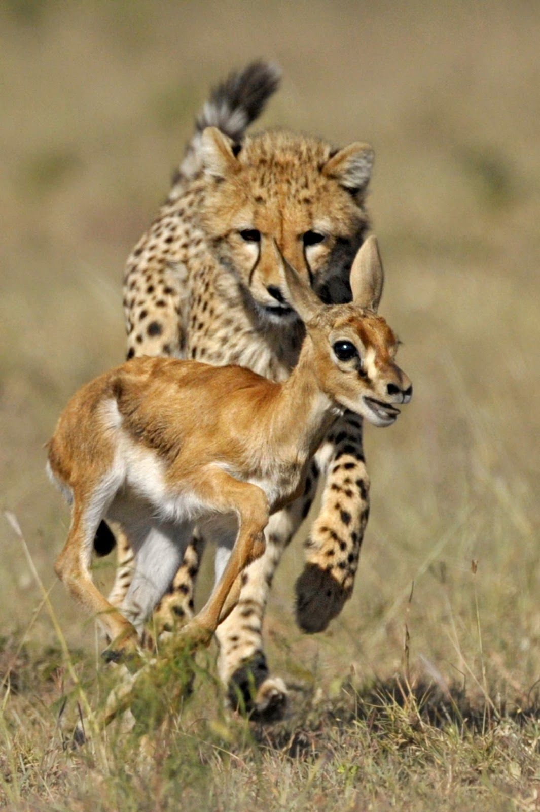 A couple more words about cheetah hunting 59
