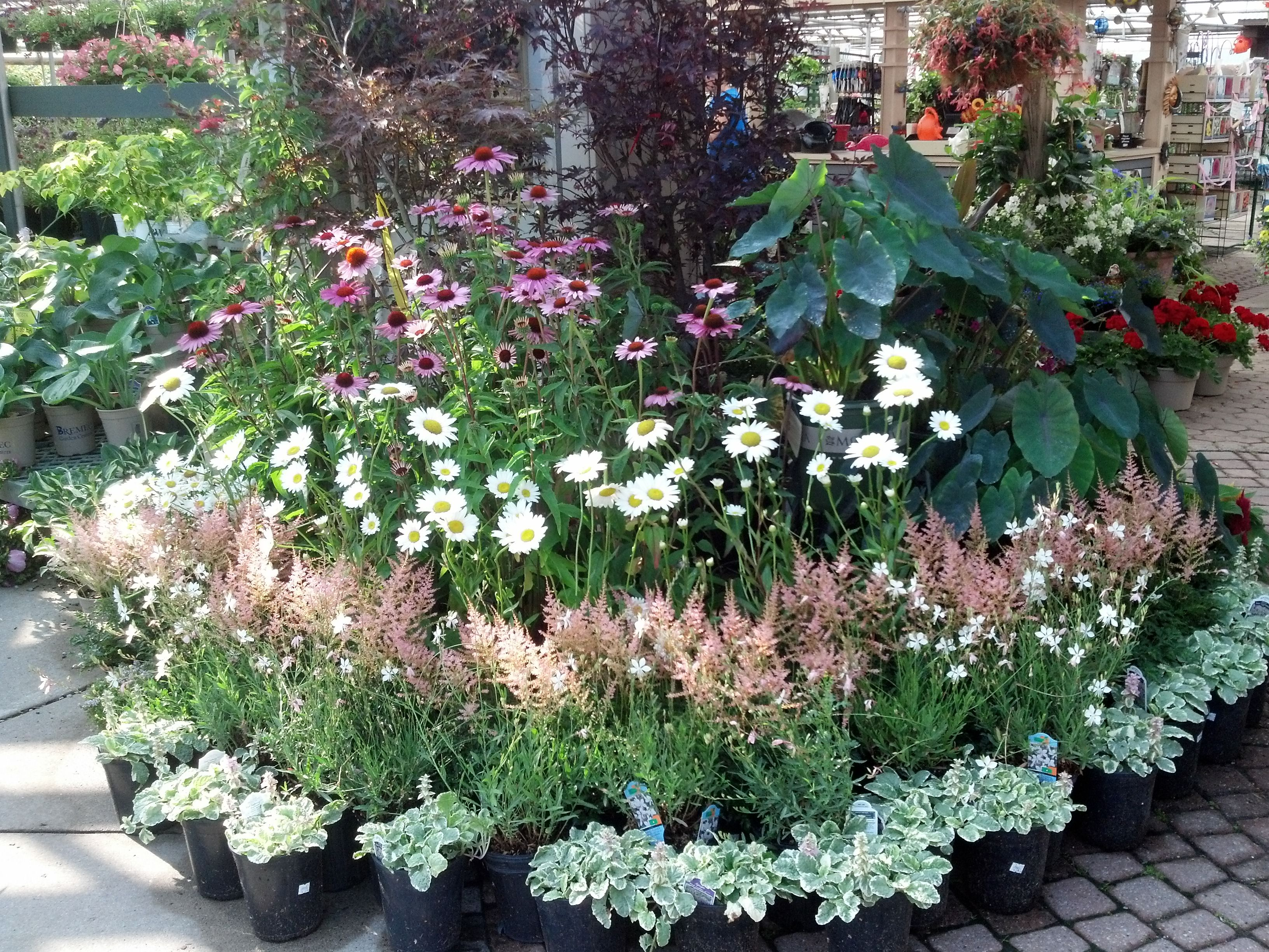 Bremec Garden Centers Chesterland Ohio Summer Beauty Mixing Traditional Cone Flowers And Shasta Daisies With Tropicals With Images Shasta Daisies Garden Center
