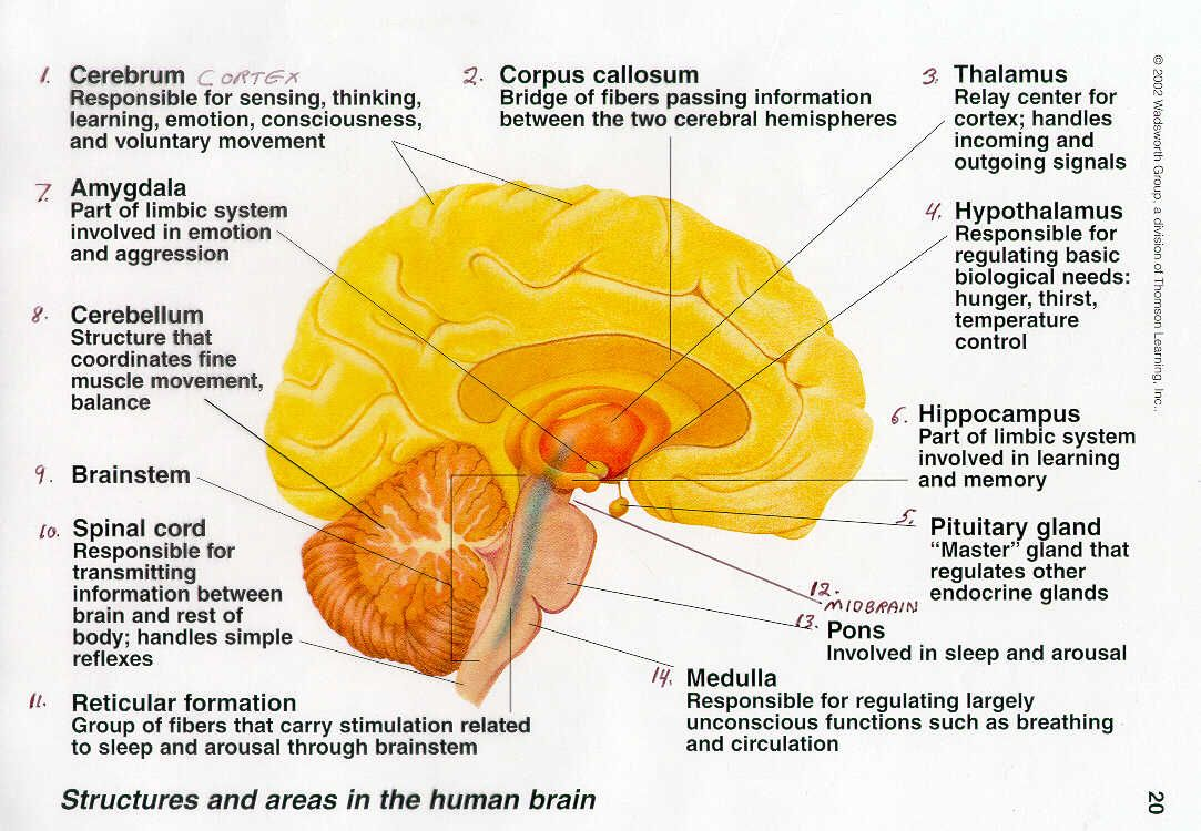 Detailed Diagram Of The Brain Functions Block And Schematic Diagrams
