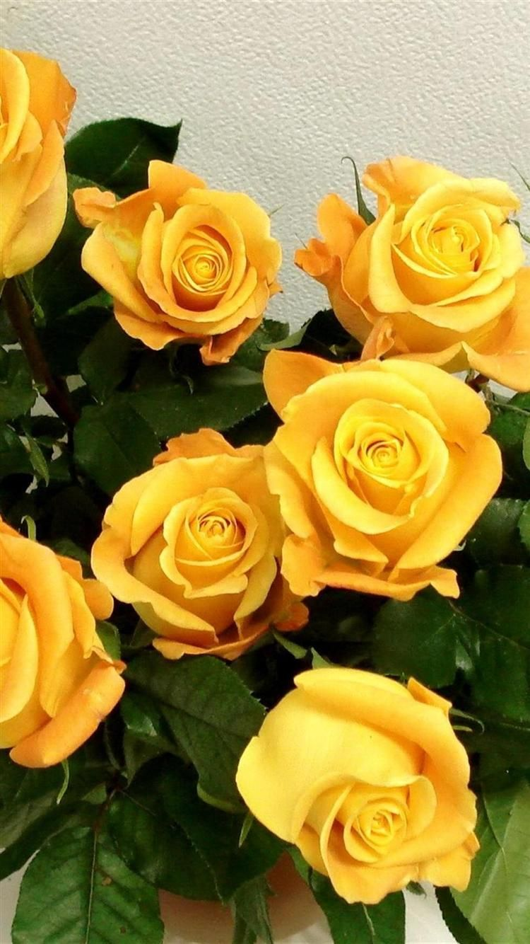 Iphone 6 Wallpapers Hd Q8yxn Jpg 750 1 334 Pixels Yellow Roses Beautiful Flowers Yellow Flower Wallpaper