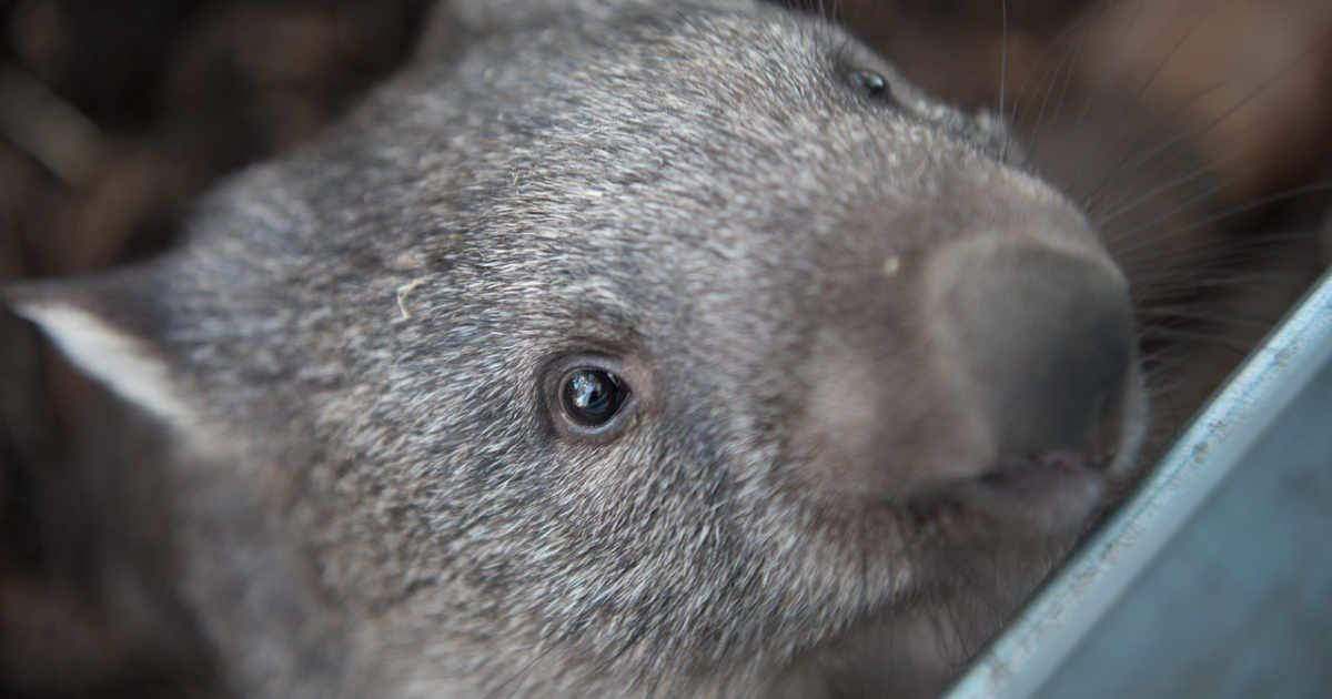 The Sun Will Always Shine On Tassie Says Ex Army Launceston Solar Installer Wombat Animals Animal Facts