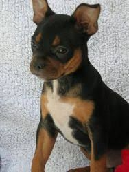 Image Result For Bulldog Chihuahua Mix Mixed Breed Dogs