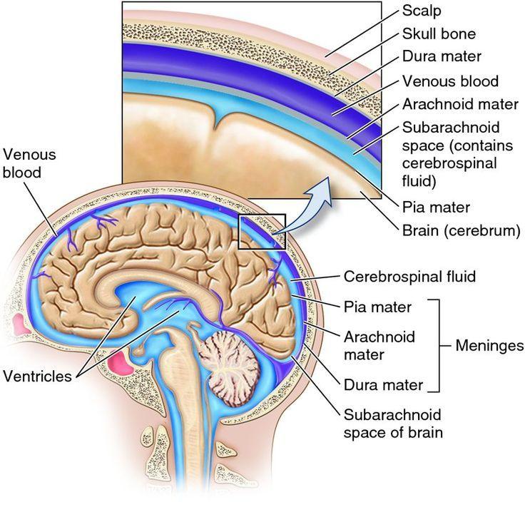 cns pns afferent efferent nervous system animal anatomy and