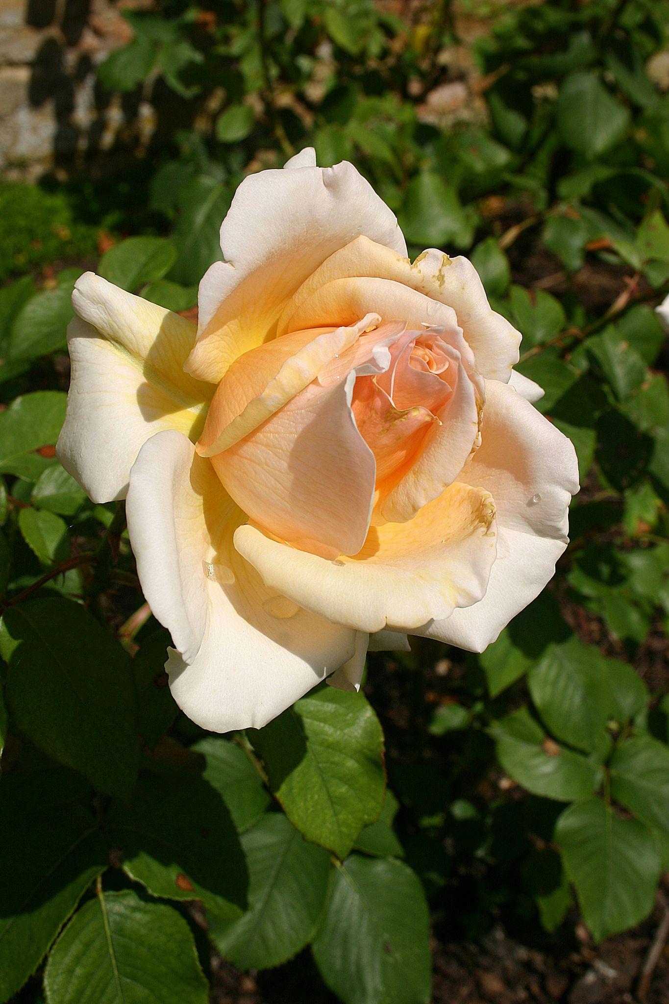 'Mary Jean' | Hybrid Tea Rose.  Harkness,  1990 | Flickr - © Angelina Moser