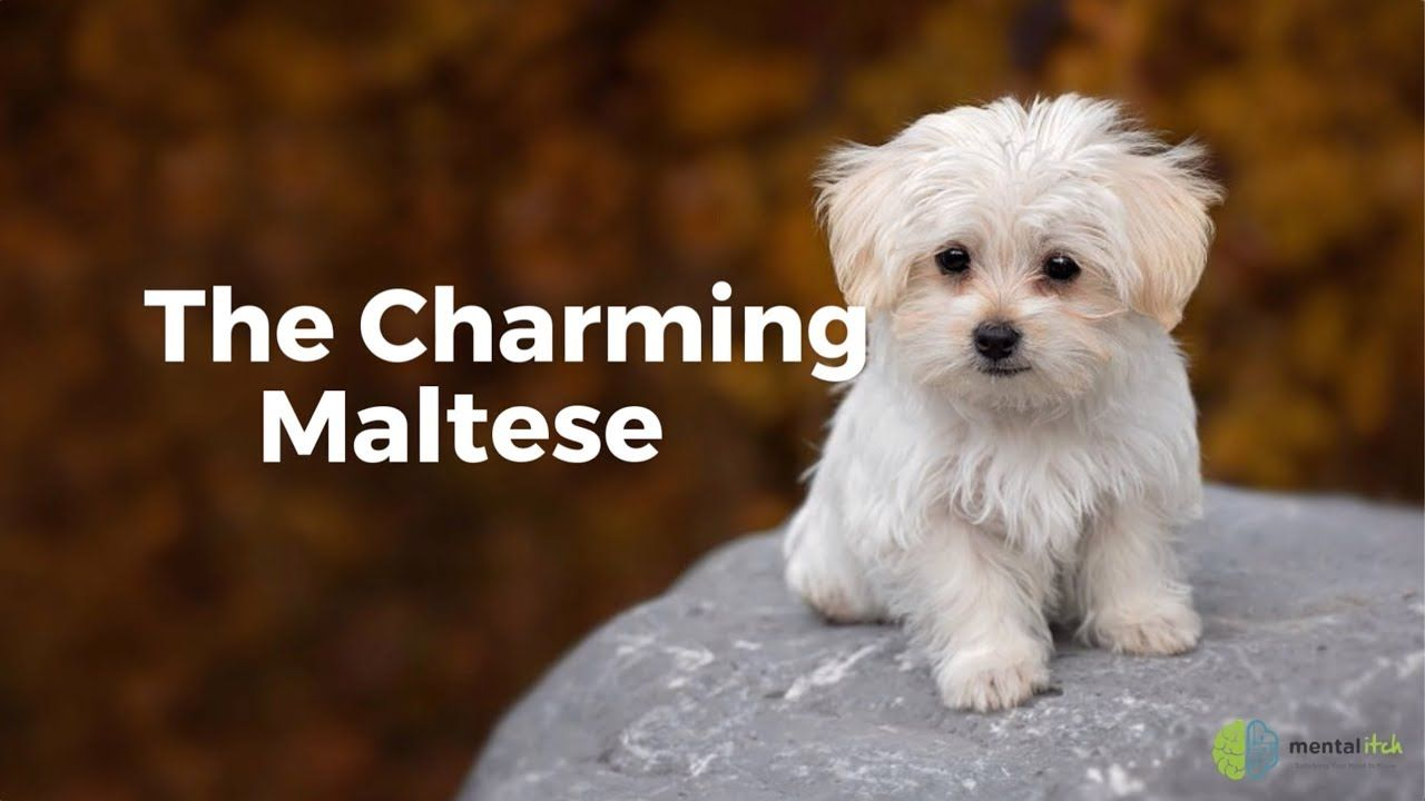 The Charming Maltese Teacup Maltese Teacup Dog Breeds Teacup
