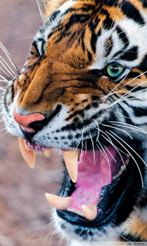 Snarling Tiger Hd Desktop Wallpaper Widescreen High Definition Big Cats Animals Animals Wild