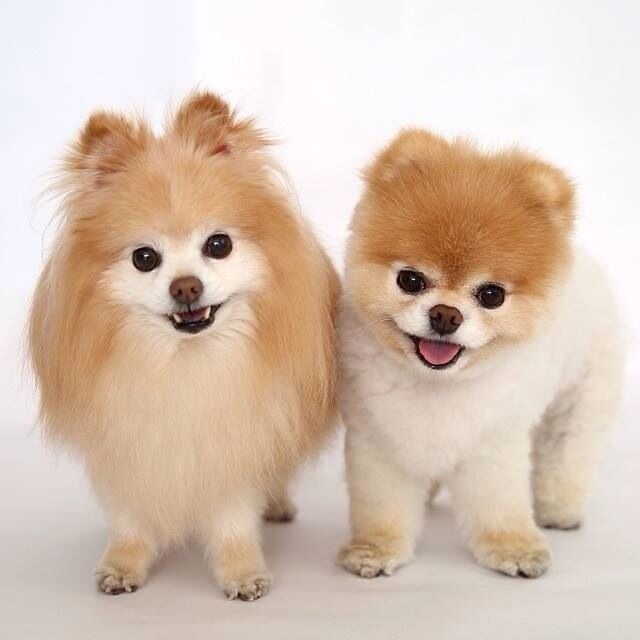 puppy cut pomeranian pomeranians puppy cut for the of animals pinterest 2200