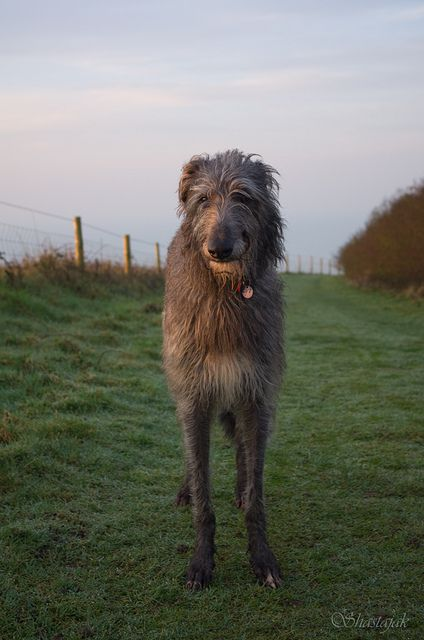Taking In The Morning Sun Scottish Deerhound Deerhound Dogs