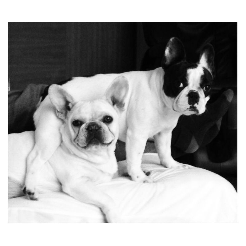 French Bulldog Puppies For Sale Happy Kennels Bulldog Puppies